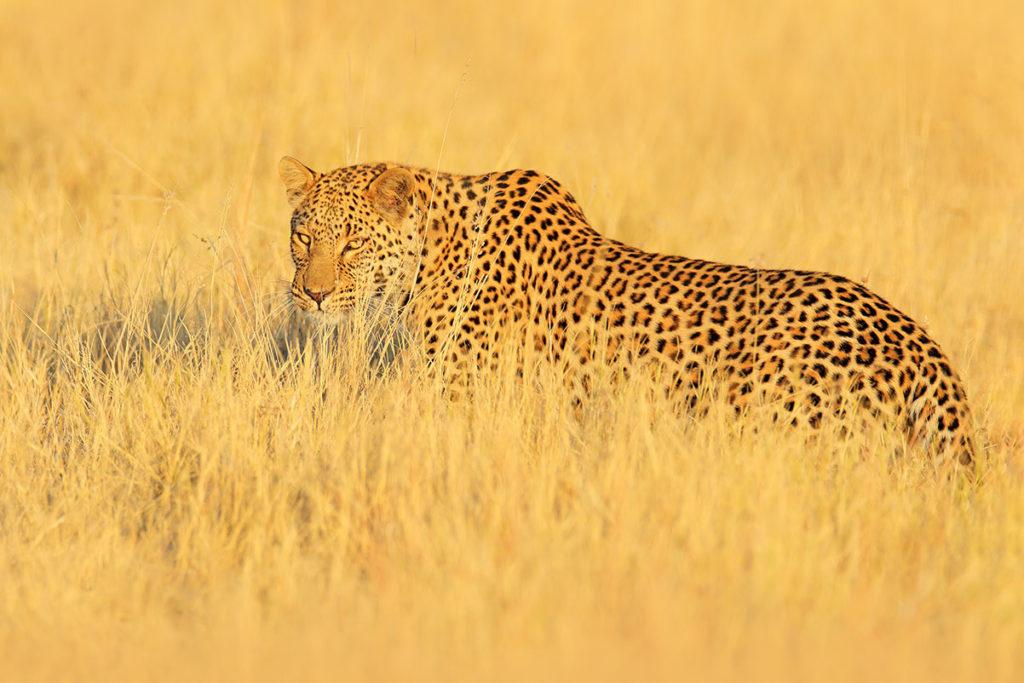 Leopard in Hwange National Park, Zimbabwe. By Ondrej Prosicky, Shutterstock