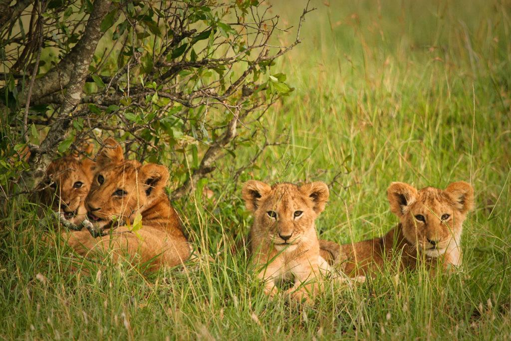 Cubs in the red oat grass of the Masai Mara, Kenya. By Piotr Gatlik, Shutterstock